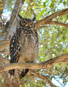 Spotted eagle owl, Kirstenbosch