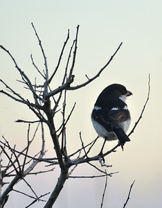 Butcher bird at dusk
