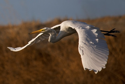 Great Egret flying with very small fish