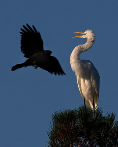 Great Egret and Raven