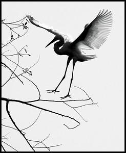 Great Egret silhouette