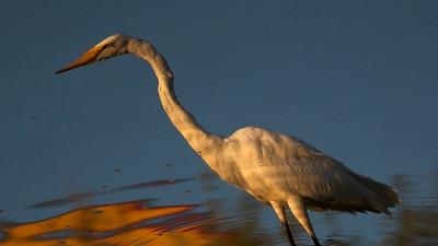 Reflection, Great Egret