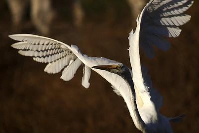Great Egret, sunset
