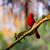 Poised Red Cardinal