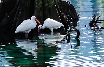 Pair of White Ibis