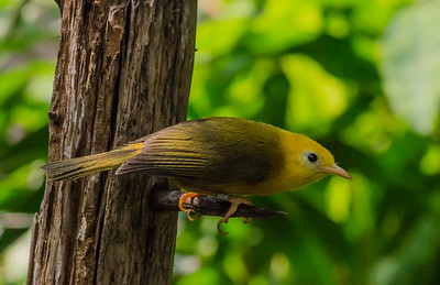 Golden White-Eye