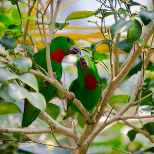 Blue-Crowned hanging Parrotts