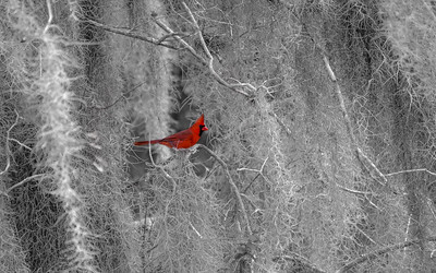 Spanish Moss & Northern Red Cardinal