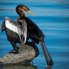 Anhinga sunning his wings