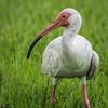 Blue-eyed ibis