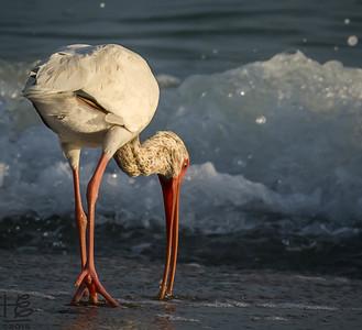 A White Ibis feeding