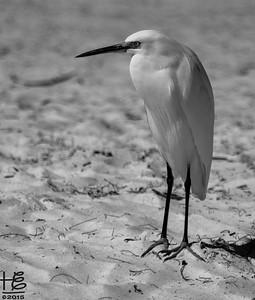 Snowy Egret on beach