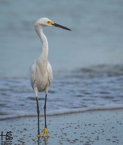Egret on shore