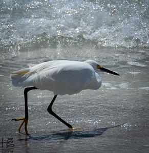egret  in hunt mode