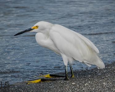 Snowy Egret sitting on beach