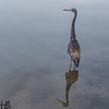 Tri-colored heron on lake