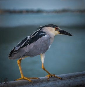 Night heron on bridge