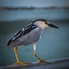 Night heron on bridge