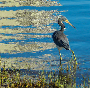 Heron in SRQ Bay shallow waters