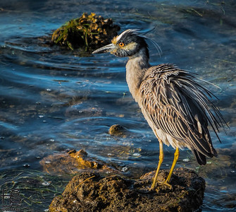 Ruffled small heron