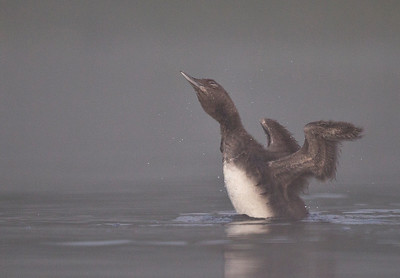Common Loon Baby