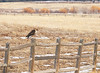 Can't tell from the picture, but it was cold and windy . . . or maybe you can tell . . . this hawk has one leg pulled up under the plumage.  At first I thought he had only one leg.