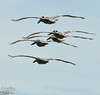 The typical formations are long lines of pelicans following each other, silently gliding along the shoreline, usually 20 to 30 feet above the ground.<br /> <br /> These guys look bunched up because of the angle and because they we turning.