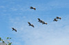 """The word """"squadron"""" often came to mind, and it is apt . . . all of the houses, windows, and structures under their flight plan are peppered with pelican droppings.  <br /> <br /> You might say these guys do regular bombing runs along the coast."""