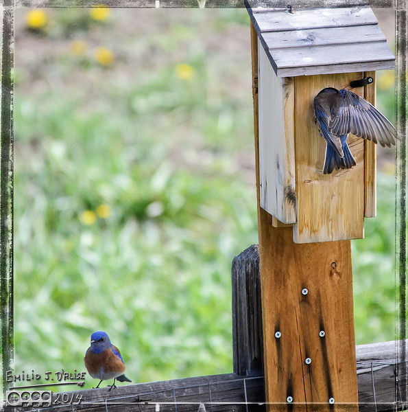 Birds, bluebirds, swallows,