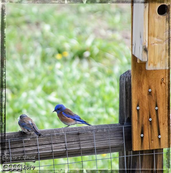 Birds, bluebirds, swallows,