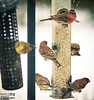By far Finches were the most frequent birds to visit the feeders.