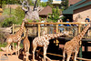 I do like the arrangement at Cheyenne; it allows for easy interactions between people and giraffes.