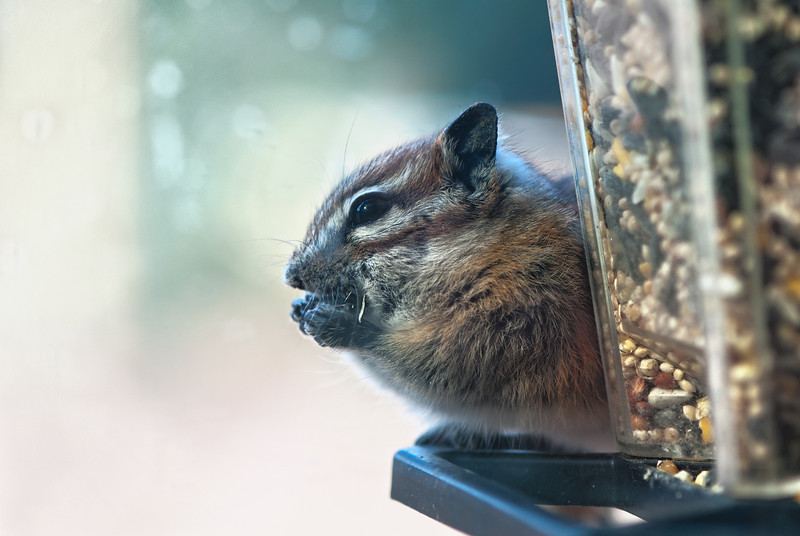 This little guy spent most of October stuffing his cheeks at the bird feeder at work.