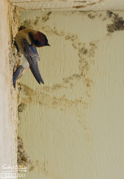 Every year Cliff Swallows sho interest in my house, but invariably they move elsewhere.