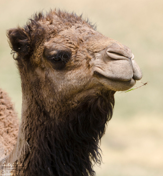 A hick camel, with a grass stem sticking out of his mouth.