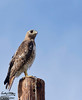 The hawk flew onto a nearby pole.  I get in the car, and park right in front of it, again figuring he would just fly off.