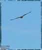 Birds, Hawks, Falcons