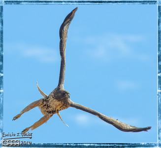 Crow, Hawk, and Falcon