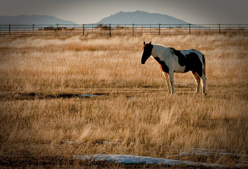 In my quest for hawks I routinely go by grazing land occupied by cattle and horses.  These particular set of horses must have hit on a patch of hemp . . . they were quite lively and pranced around for me throughout the shoot.
