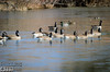 Canada Geese Flotilla heading to invade Mallard Territory