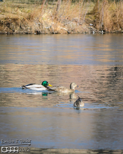 Mallards and the rare Ostrich Duck, with its head in the water.