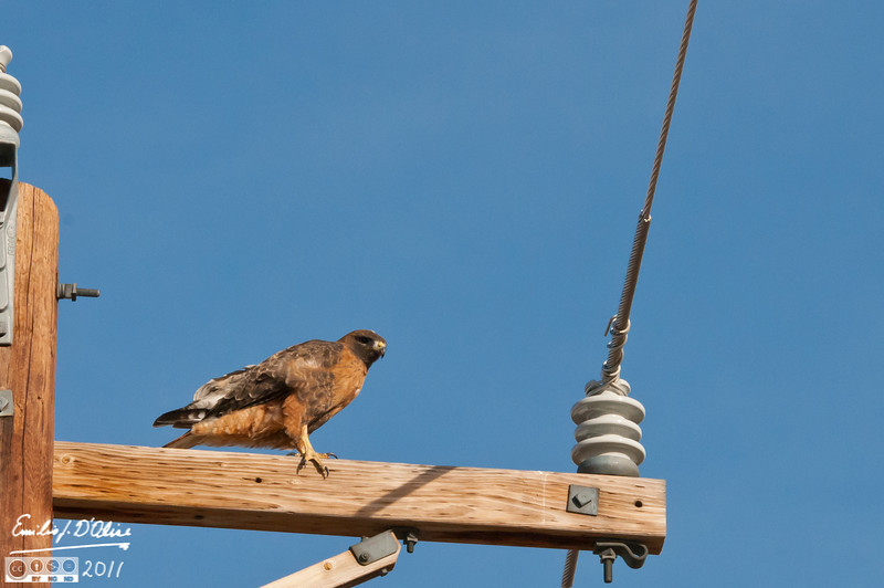 This guy was on a pole along County Line Road, one of my favorite places to see hawks.