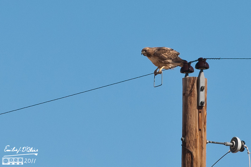 I'm guessing this is the same hawk as the one from February 11th.