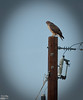 This whole month I have been on the lookout for hawks.  I usually see them like this, perched atop a utility pole scanning the horizon.