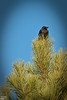 Astute observers will have noted this is not a hawk.  I like crows; they are smart, resourceful, and they work in teams.