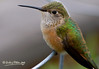 This fellow let me get very, very close.  The hood of the lens could not have been more than 10 inches away from this hummingbird.