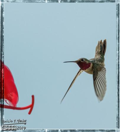Hummingbirds 2014 - 1