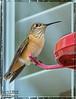 Hummingbirds from my back yard