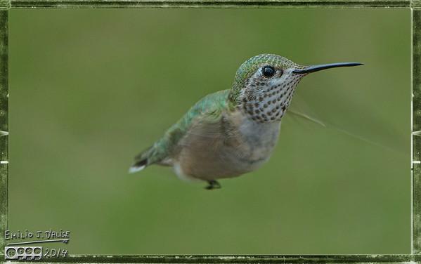 Hummingbirds 2014 - 3
