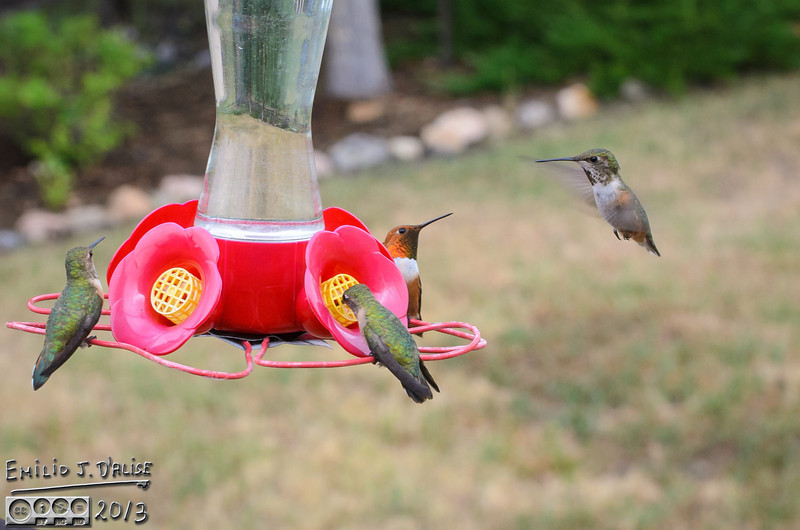 Hummingbirds,